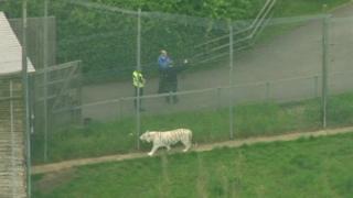 Тигр прогуливается внутри вольера
