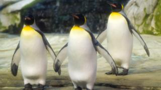 베를린 동물원에서 부화를 기다리는 펭귄들