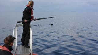 Swabbing a basking shark