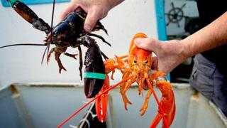 lobsters caught in the Gulf of Maine