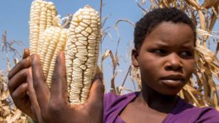 maize africa