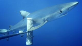 Blue-shark-swims-past-bait-cannister.