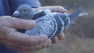 A pigeon fitted with the sensor