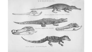 Black and white image of reptiles with skulls beside them
