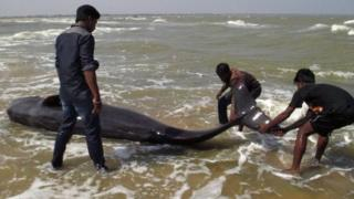"""Indian fishermen try to drag a whale that washed ashore in Manapad in Tamil Nadu""""s Tuticorin district, some 600 km south of Bangalore, on January 12, 2016"""