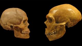 Comparación de cráneos de humanos modernos y neandertales