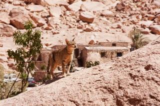 Монастырский кот