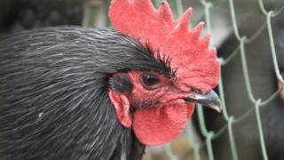 Black cockerel