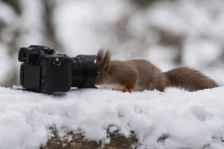 Red squirrel looks into a camera lens in the Cairngorms