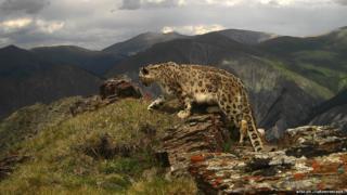 Фотоловушки это самый эффективный способ наблюдения за снежными барсами в дикой природе