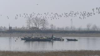 A flock of two species of Curlew - the Eurasian curlew and the endangered Eastern Curlew - in North Korea