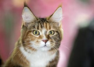 ใบหน้าแมวแสดงอารมณ์ได้หลากหลายกว่าที่คิด