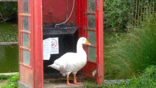 Goose in the phone box