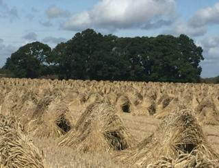 Crops in a field before harvest
