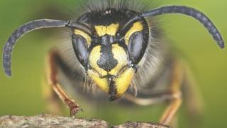 زنبور بی عسل جلیقه زرد