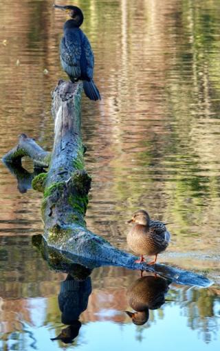 Swan pond Culzean Castle
