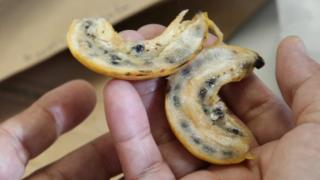 Wild banana samples (Image: Global Crop Diversity Trust/L Salazar)