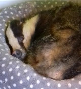 Badger asleep in cat bed