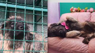 Пас Бен у азилу и на каучу након што је удомљен