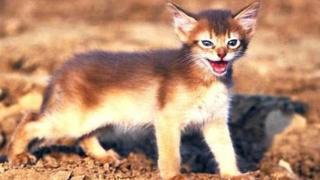 बिल्ली की म्याऊं