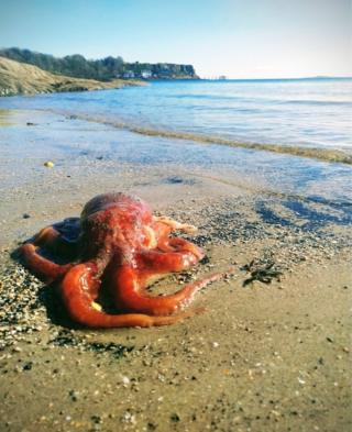 Shirley Maxwell found this octopus on Blacksands Beach in Aberdour.