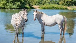 Horses trying to keep cool at Port Meadow