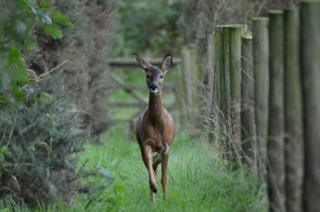Deer by the River Annan