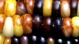 variación de color en el Maíz Indio debido a la presencia de elementos genéticos identificados por Barbara McClintock.