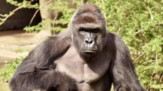 Harambe, gorila