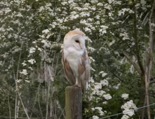 A barn owl in a meadow