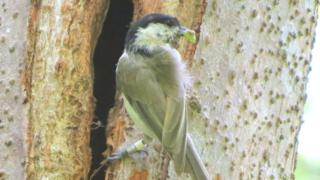 Marsh tit with food entering tree cavity