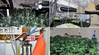 Cannabis plants and growing equipment