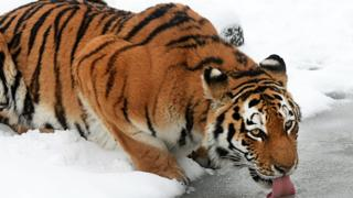An Amur tiger takes a drink at Whipsnade Zoo