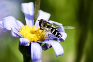 pied hoverfly collecting pollen or nectar from a flower in Glasgow's Botanic Gardens