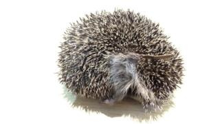 Infected hedgehog wearing rubber band
