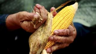 Corn cob in someone's hands