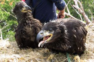 Sea eagle chicks