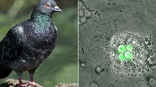 Pigeon and an infected marophages