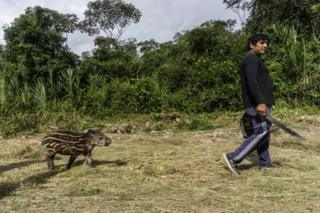 A man walks along holding a machete followed by a young tapir in the Waikas community