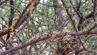 Bigereranywa ko izi nzige zirya ibimera bipima za toni buri munsi