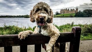cockapoo dog at Linlithgow Palace