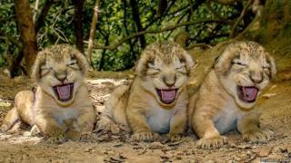 Newborn lion cubs in the Gir forest