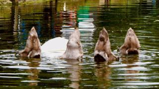 Four ducks tails out of water