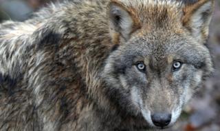 A Eurasian wolf