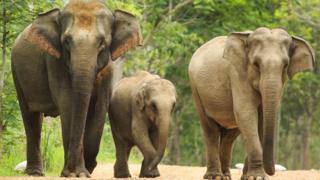 Family of three Asian elephants