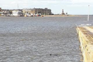 Dolphin at Knott End