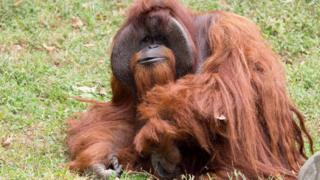 foto Zoo Atlanta menunjukkan Chantek si orangutan di Atlanta, Georgia