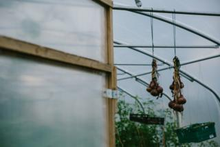 Onions are seen dangling inside the polytunnel