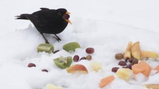 Blackbird eating fruit