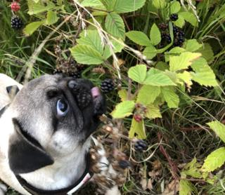 Pug eating brambles